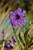 Petunia messicana (brittoniana di Ruellia) fotografie stock libere da diritti