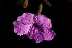 Petunia messicana sul nero Fotografia Stock