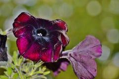 Petunia met bokehachtergrond Stock Afbeeldingen