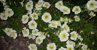 Petunia milliflora - Picobella Cascade White. This trailing mini-Petunia is perfectly suited for basket, mixed container, and jumbo pack programs. Extra early Royalty Free Stock Photography