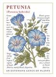 petunia Mooie bloeiende realistische bloemen Uitstekende kaart Kader Tekening, gravure freehand bloemen Vectorvoorraad Victoria royalty-vrije illustratie