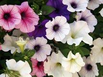 Petunia multicolor Stock Image
