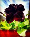 Petunia negra Imágenes de archivo libres de regalías