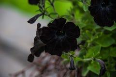 Petunia negra Imagenes de archivo