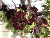 Petunia negra del terciopelo de la variedad rara de la flor en el pote blanco imagenes de archivo