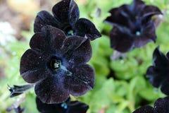 Petunia nera frizzante Fotografia Stock