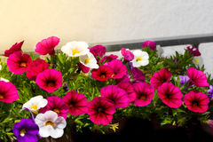 Petunia. This nice flowers bloom on a patio Royalty Free Stock Images