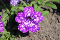 Petunia 'Nightsky'. Bright flower Petunia variety 'Nightsky' Fluerosect winner Stock Photos