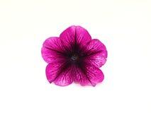Petunia no branco Imagem de Stock