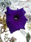Petunia in November Royalty Free Stock Photo