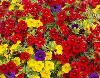 Petunia olika färger green leaves Trädgård Fotografering för Bildbyråer