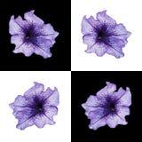 Petunia op verschillende achtergrond Royalty-vrije Stock Afbeelding