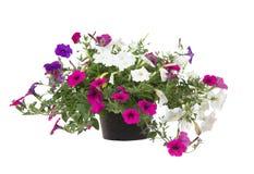 Petunia op witte achtergrond Stock Foto