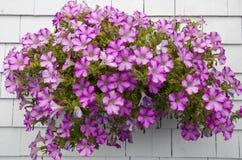 Petunia op witte muur Stock Foto's