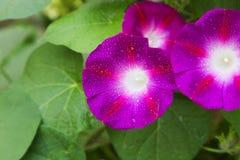 Petunia púrpura Foto de archivo libre de regalías