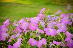 Petunia púrpura Imágenes de archivo libres de regalías