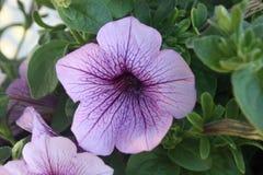 Petunia púrpura Imagen de archivo libre de regalías