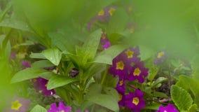 Petunia púrpura de Flowerd almacen de video