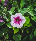 Petunia púrpura de la flor con las hojas verdes Fotos de archivo