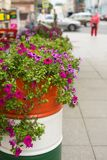 Petunia púrpura en un barril del metal en la calle Imagen de archivo libre de regalías