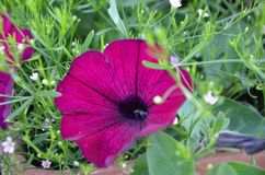 Petunia púrpura hermosa en fondo borroso imagen de archivo libre de regalías