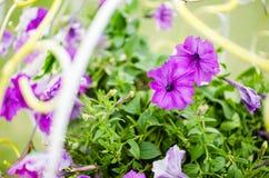 Petunia or Petunia Hybrida Vilm Royalty Free Stock Photos