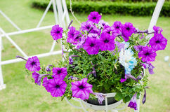 Petunia or Petunia Hybrida Vilm. In the garden or nature park stock photo