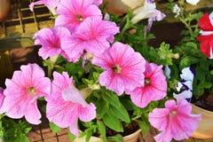 Petunia pink4 Royalty-vrije Stock Foto's