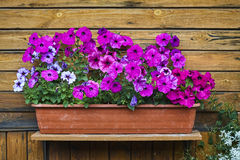 Petunia pink blossom and green plant in pot on wood wall. Front Stock Image