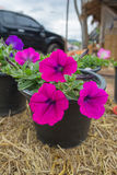Petunia. Pink Petunia Flowers in The Garden Stock Images