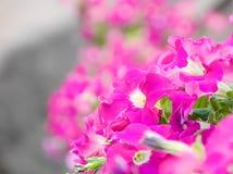 Petunia Stock Photos