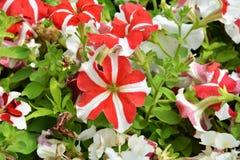 Petunia1 Royalty Free Stock Photos