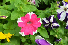Petunia pink3. Petunia pink garden beautiful vibrant Stock Images