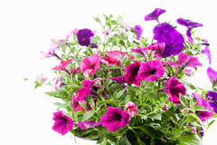 Petunia Royalty Free Stock Images