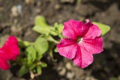 Petunia Royalty Free Stock Photo