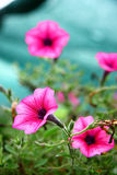 Petunia Pink Wave. The detailed photo of the cultivar Pink Wave of the beautiful petunia flowers Stock Images