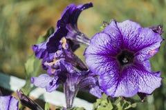 Petunia Pleasantly Blue Fusables. Large lilac petunia flower. Petunia Grandiflora stock photos