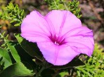 Petunia porpora selvatica Fotografia Stock Libera da Diritti