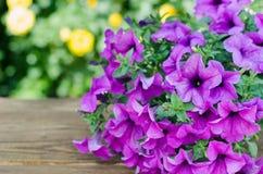 Petunia porpora in vaso da fiori sulla tavola di legno sul fondo della natura Fotografie Stock