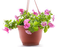 Petunia pot Royalty Free Stock Photo