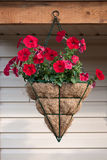 Petunia in pot Royalty-vrije Stock Afbeelding