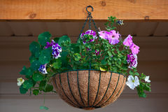 Petunia in  pot Stock Image