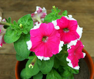 Petunia in pot Stock Photos