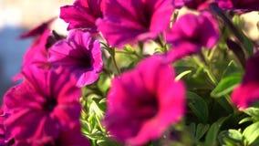 Petunia in the Pot. Close-up. Sunny evening light. Pan right. Petunia Flower.