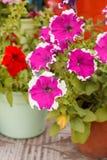 Petunia in the pot Stock Image
