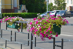 Petunia in pot decorated with a fence along the road Stock Photos