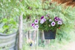 Petunia in pot. Stock Photo