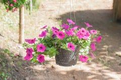 Petunia in pot. Royalty Free Stock Image