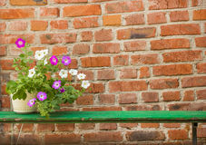Petunia in pot on wall background Stock Photo