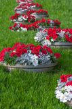 Petunia  in pots. Petunia in pots in raw  with green grass Royalty Free Stock Photos